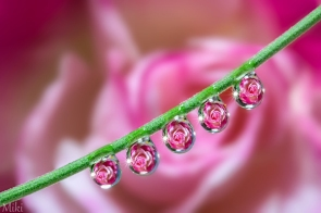 Rose-Drops-by_-Miki-Asai